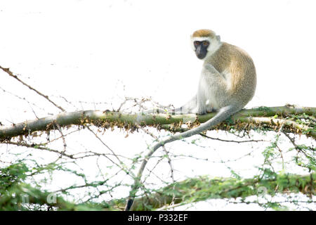 The black faced vervet monkey are mostly vegetarian monkeys that have a black face and grey body hair color.  They range in length from about 19 inche - Stock Photo
