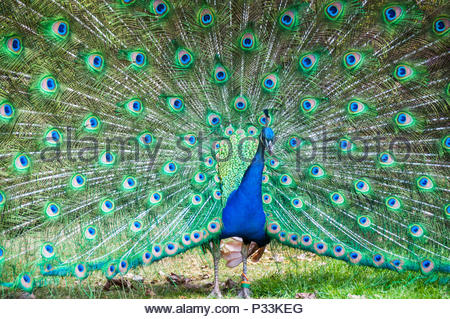 A male peafowl (peacock) with its tail feathers in full fan display. Picture taken in the gardens of Warwick Castle. - Stock Photo