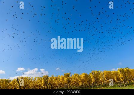Flying bird swarm - togetherness of animals - Stock Photo