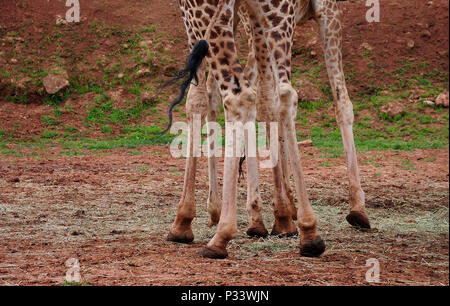 long legs and black tail of giraffes on red clay floor - Stock Photo