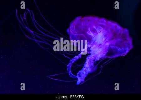 The purple-striped jellyfish (Chrysaora colorata) a species of jellyfish, sea nettle, medusa (Medusozoa), marine animals, growing under black light