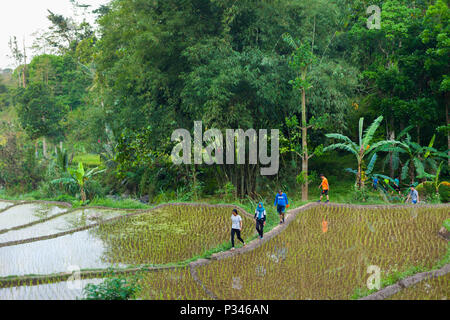 Runners on a Hash House Harriers run through the rice fields of Java, Indonesia - Stock Photo