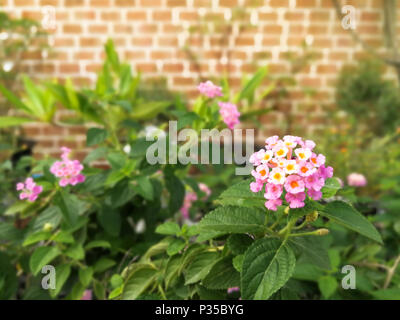 Pink flowers in the garden at evening (Lantana camara L.) on brick background with vision blur - Stock Photo