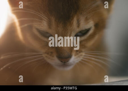 cute abyssinian kitten relaxing on couch, shallow focus - Stock Photo