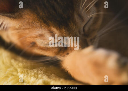 cute abyssinian kitten sleeping on couch, shallow focus - Stock Photo