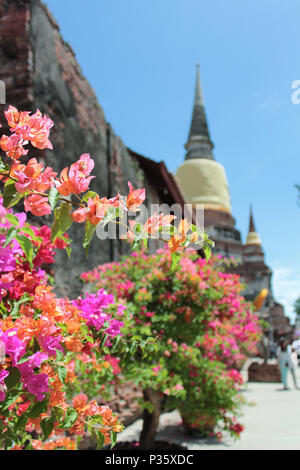 bougainvillea flowers in Thai temple in blue sky sunny day - Stock Photo