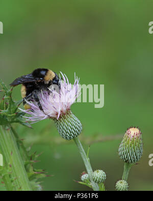 Southern plains bumble bee on pretty purple Sow thistle plant - Stock Photo