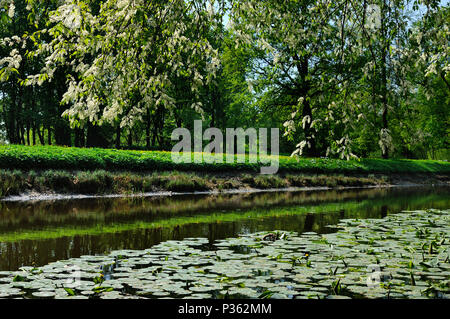 Blooming bird cherry tree is growing on a bank of a tiny Chykhonka river covered by yellow water lilies, Krestovsky island, Saint-Petersburg, Russia - Stock Photo