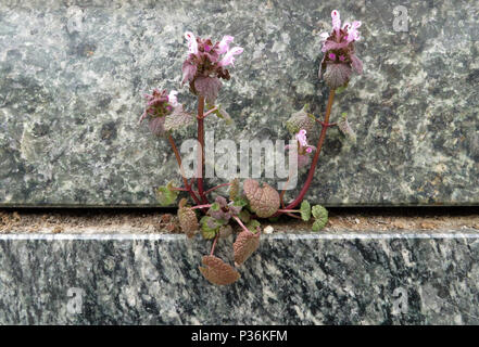 Berlin, Germany, purple plant growing in the crack between two marble slabs - Stock Photo