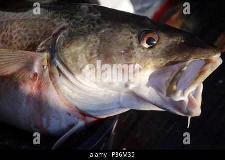 Wismar, Germany, head of a cod - Stock Photo