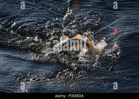 Wismar, Germany, a cod has bitten in deep-sea fishing - Stock Photo