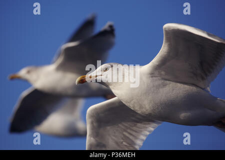 Wismar, Germany, Silbermoewen in flight - Stock Photo
