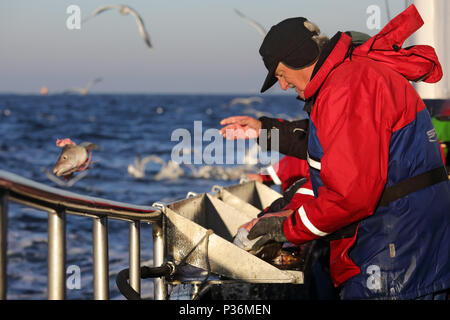 Wismar, Germany, deep-sea angler throws a codfish head in the Baltic Sea - Stock Photo