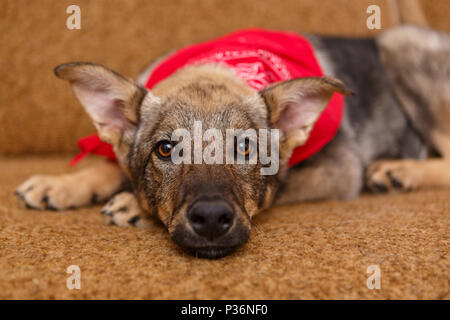 Portrait of a beautiful big dog on the couch - Stock Photo