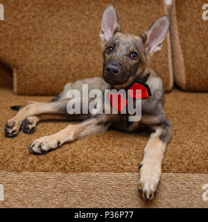 Young dog bow tie lying on the bed - Stock Photo