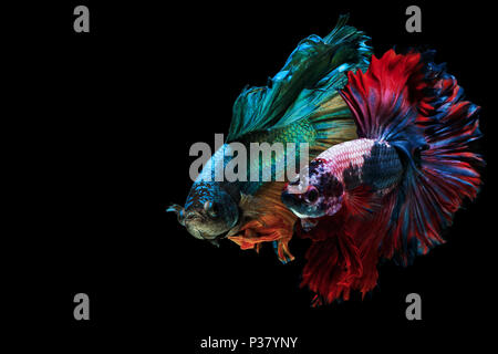 Fine Art Siamese fighting fish, Betta fish, Betta splendens Two fighters Half moon - Stock Photo