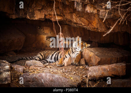 Male Bengal tiger (Panthera tigris), Ranthambore National Park, Rajasthan, northern India, asleep on a rock in a cave - Stock Photo