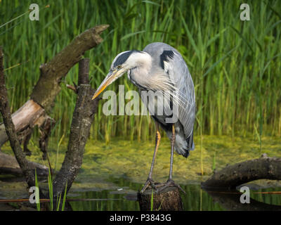 Grey Heron, Teifi Marshes, Wales - Stock Photo