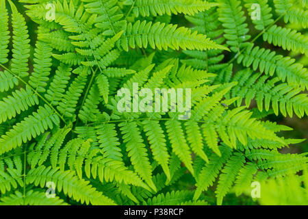 Beautiful ferns leaves green foliage natural floral fern background in sunlight. Plant fern background. Bright green leaves texture. Selective focus. - Stock Photo