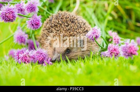 Hedgehog, native, wild, European hedgehog on green lawn with flowering purple chives.  Scientific name: Erinaceus europaeus.  Landscape. - Stock Photo