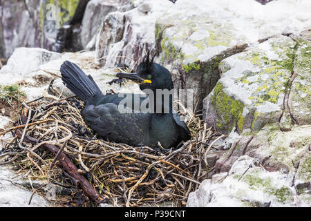 Nesting shag, Phalacrocorax aristotelis, off the Northumberland coast, UK. - Stock Photo
