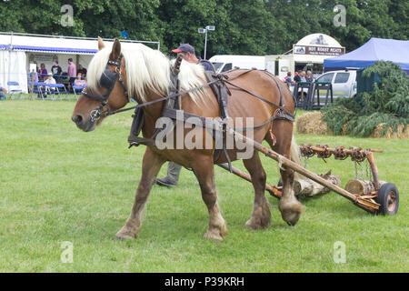 vintage horse logging demonstration using a Comtois horse - Stock Photo