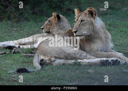 Lions resting on the Massai Mara plains (Panthera leo). Kenyan Safari, picture taken in the Olare Motorogi Conservancy. - Stock Photo