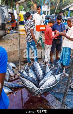 Freshly caught tuna fish on sale being weighed by local fishermen at the quayside fish market in the harbour at Weligama, south coast of Sri Lanka - Stock Photo