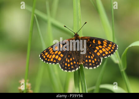A beautiful rare Heath Fritillary Butterfly (Melitaea athalia) perching on a blade of grass in woodland. - Stock Photo