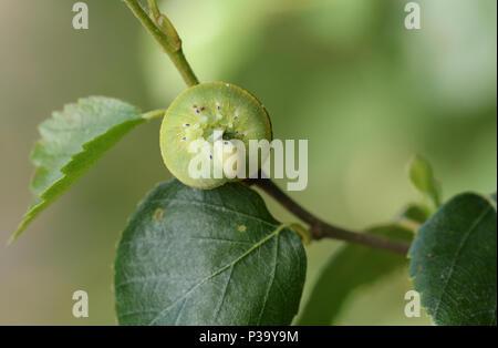 A pretty Birch Sawfly Caterpillar (Cimbex femoratus) feeding on silver birch in woodland. - Stock Photo