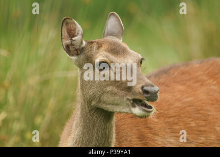 A beautiful head shot of a Sika Deer (Cervus nippon) feeding in a meadow at the edge of woodland. - Stock Photo