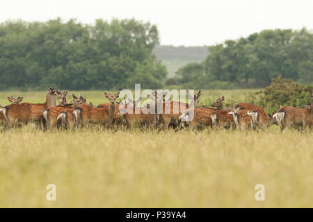 A herd of stunning Sika Deer (Cervus nippon) feeding in a meadow  at dusk. - Stock Photo