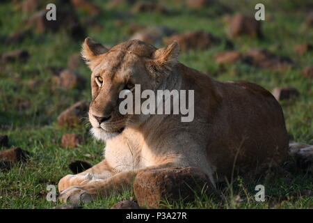 Female Lion resting on the Massai Mara plains (Panthera leo). Kenyan Safari, picture taken in the Olare Motorogi Conservancy. - Stock Photo