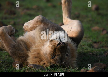 Male lion rolling on his back on the Massai Mara plains (Panthera leo). Kenyan Safari, picture taken in the Olare Motorogi Conservancy. - Stock Photo