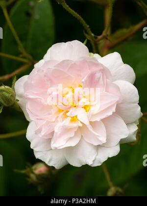 Single flower of the fragrant rambler rose, Rosa 'Paul's Himalayan Musk' - Stock Photo