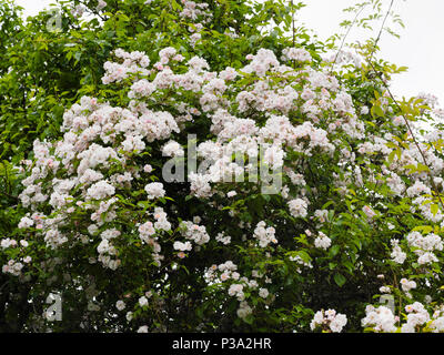 Massed flowers of the vigorous, fragrant rambler rose, Rosa 'Paul's Himalayan Musk', colonising a tree - Stock Photo