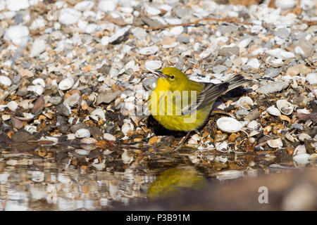 A pine warbler drinking on a shell littered shore. - Stock Photo