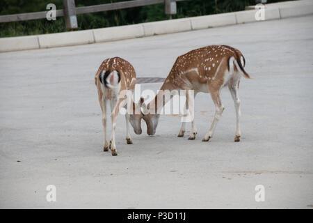 Fallow deer, Dama dama, feeding corn, closeup on deer farm in Olimje, Slovenia