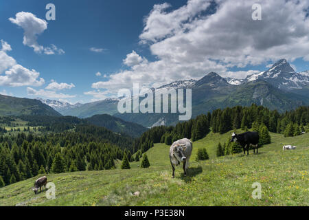 idyllic mountain landscape in the summertime with cows and snow-capped mountains in the background - Stock Photo