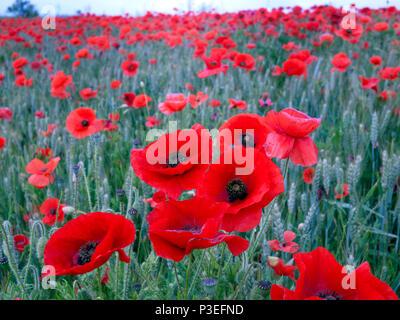 Poppy field in Kent UK - Stock Photo