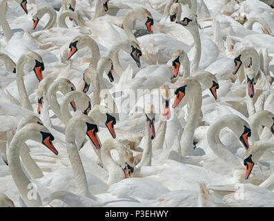 Mute Swans Cygnus olar flock of non breeding adults Fleet lagoon Dorset - Stock Photo