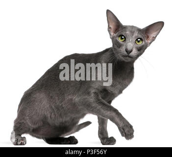 Oriental Shorthair cat, 10 months old, in front of white background - Stock Photo