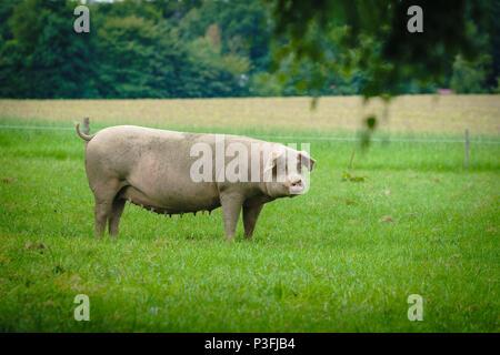 Pig portrait. Pig at pig farm - Stock Photo