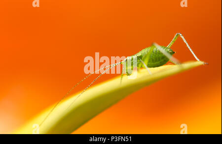 Macro, close-up side view of green, male speckled bush-cricket bug, perched on tip of green leaf; bright orange plant behind provides natural backdrop. - Stock Photo