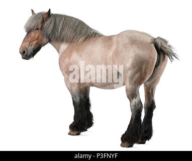 Belgian horse, Belgian Heavy Horse, Brabancon, a draft horse breed, 11 years old, standing in front of white background - Stock Photo