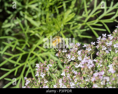 A close up of a buff tailed bumble bee feeding on thyme flowers - Stock Photo