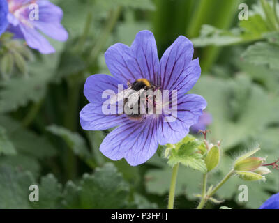 An early bumble bee feeding on a single blue geranium flower - Stock Photo