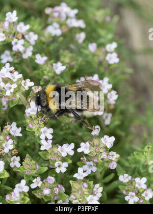 A close up of a white tailed bumble bee feeding on thyme flowers - Stock Photo