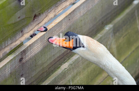 Mute Swans Cygnus olar males attacking each other through barrier - Stock Photo