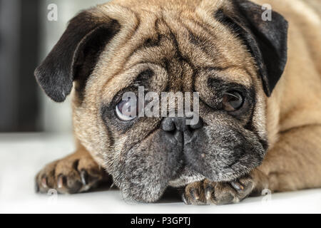 Pug dog lying close-up on a white background - Stock Photo